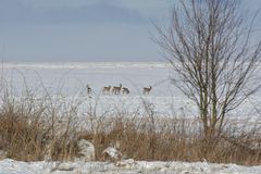 Deer in the winter. In the field looking for food Stock Photos