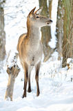 Deer in winter forest Stock Photo