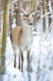 Deer in winter forest Stock Images