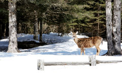 Deer in Winter Forest Stock Photography