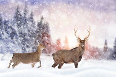 Deer in winter forest. Close young deer in nature. Winter time royalty free stock images