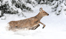 Deer in winter forest royalty free stock photo