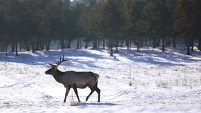 Deer in the winter forest stock footage