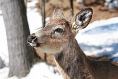 Deer during winter Stock Photography