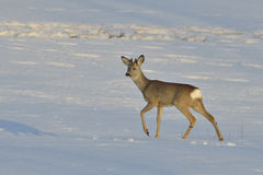 Deer in winter Stock Photography