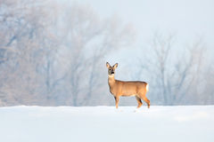 Deer in winter in a sunny day. Stock Photography