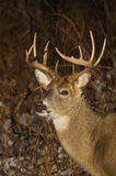 Deer in Winter. A white-tail buck in winter Stock Image