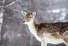 Deer in wintertime. Cute spotted  female fallow deer in the snow Stock Images