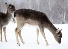 Deer in wintertime. Fallow deers in the snow Royalty Free Stock Photo