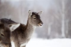 Deer in wintertime. Fallow deers in the snow Royalty Free Stock Images