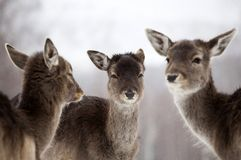 Deer in wintertime. Fallow deers in the snow Stock Photography