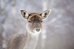 Deer in wintertime. Portrait of a female of fallow deer in the snow Royalty Free Stock Image