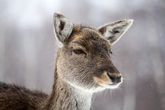Deer in wintertime. Portrait of a female of fallow deer in the snow Stock Images