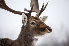 Deer in wintertime. Portrait of a male of fallow deer in the snow Royalty Free Stock Image