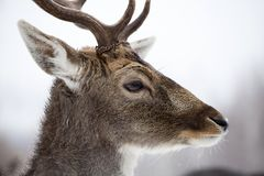 Deer in wintertime. Portrait of a male of fallow deer in the snow Stock Photography