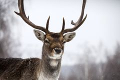 Deer in wintertime. Portrait of a male of fallow deer in the snow Stock Photo