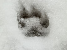 Deer and wolf footprint in snow forest Stock Photography