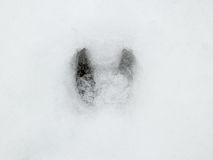 Deer and wolf footprint in snow forest Stock Photos