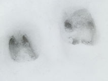 Deer and wolf footprint in snow forest Royalty Free Stock Photos