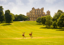 The Deer Of Wollaton Hall. Two beautiful young red deer running freely together around their home - the grounds and park of the historic Wollaton Hall in Stock Photos