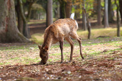 Deer in the Wood Stock Photography