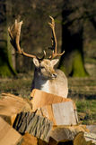 Deer in the Woodland Royalty Free Stock Images