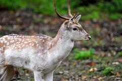 Deer in the woods. Young deer in the woods in autumn stock photo