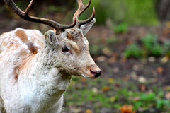 Deer in the woods. Young deer in the woods in autumn stock photography
