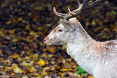 Deer in the woods. Young deer in the woods in autumn royalty free stock images