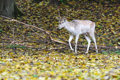 Deer in the woods. Young deer in the woods in autumn royalty free stock image