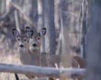Deer in the Woods. Wild deer standing in the Colorado woods Stock Images