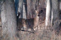 Deer in the Woods. Wild deer standing in the Colorado woods Royalty Free Stock Images