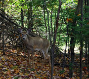 Deer in the Woods. On a fall day, in the woods, a deer is looking at us in Quebec, Canada Royalty Free Stock Photo