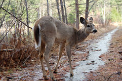 Deer Woods Royalty Free Stock Photo