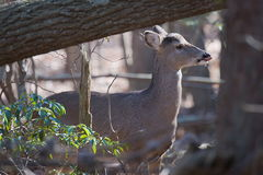 Deer in woods curious feeding Royalty Free Stock Photography