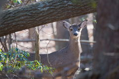 Deer in woods curious Stock Image