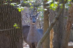Deer in woods curious Royalty Free Stock Photo