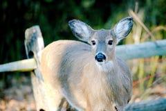 Deer in Woods stock photo