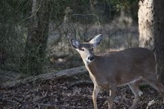 Deer in Woods startled stock photography