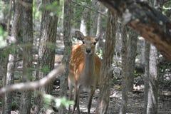 Deer in woods Stock Images