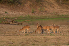 Deer in Yala Stock Photo