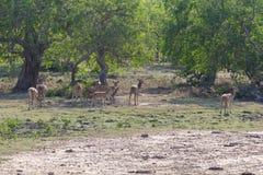 Deer in Yala Stock Photos