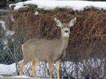 Deer in yard Stock Photography