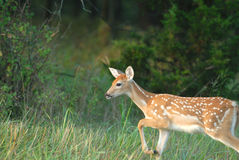 Deer Yearling Stock Photography