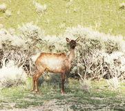 Deer in Yellowstone Royalty Free Stock Photo