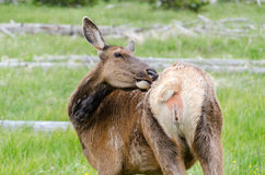 Deer in Yellowstone Stock Photos