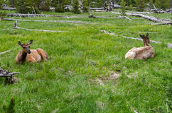 Deer in Yellowstone Royalty Free Stock Images