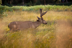 Deer in Yosemite Stock Photography