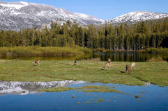 Deer, Yosemite High Country Stock Image