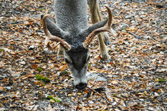 Deer in Yosemite National Park Royalty Free Stock Image